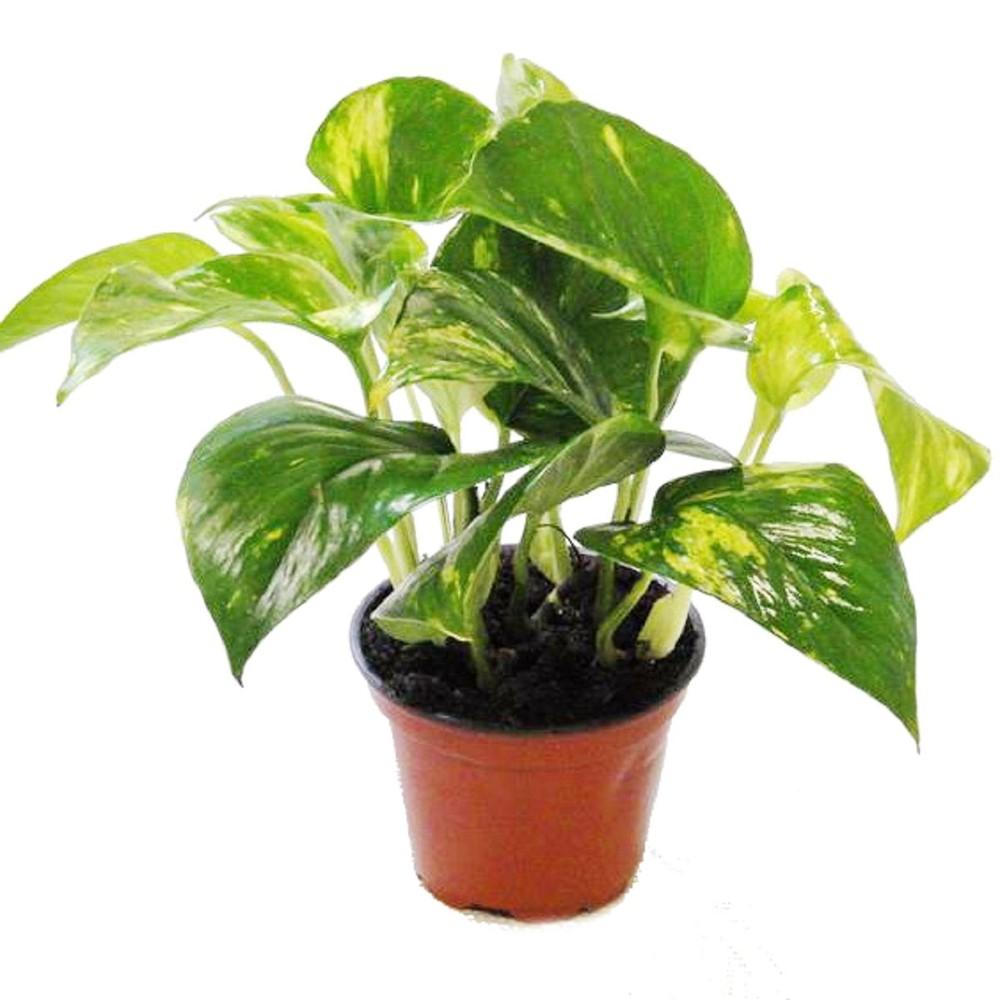 Schaben joe rankpflanzenmix 3er set im 9cm topf - Rankpflanzen zimmer ...